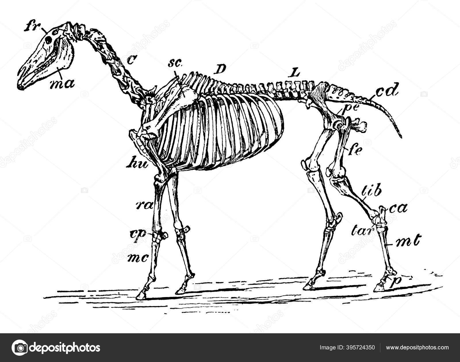 Skeleton Horse Its Parts Labelled Vintage Line Drawing Engraving Illustration Stock Vector C Morphart 395724350