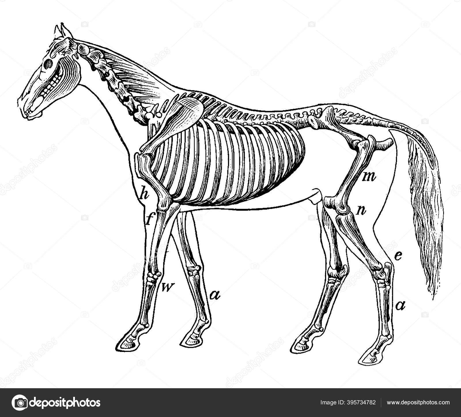 Skeleton Horse Vintage Line Drawing Engraving Illustration Stock Vector C Morphart 395734782