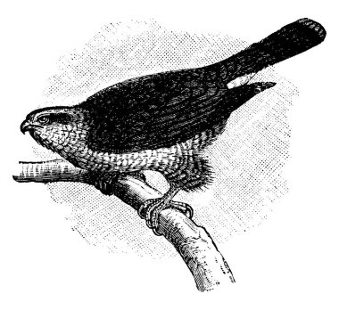 American Goshawk, a medium-large raptor in the family Accipitridae, Astur atricapillus species with short, broad wings, long tail, long wings, short tail, robust, short legs and thick toes, vintage line drawing or engraving illustration.