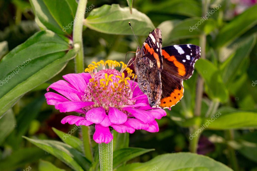 Admiral butterfly on a flower.