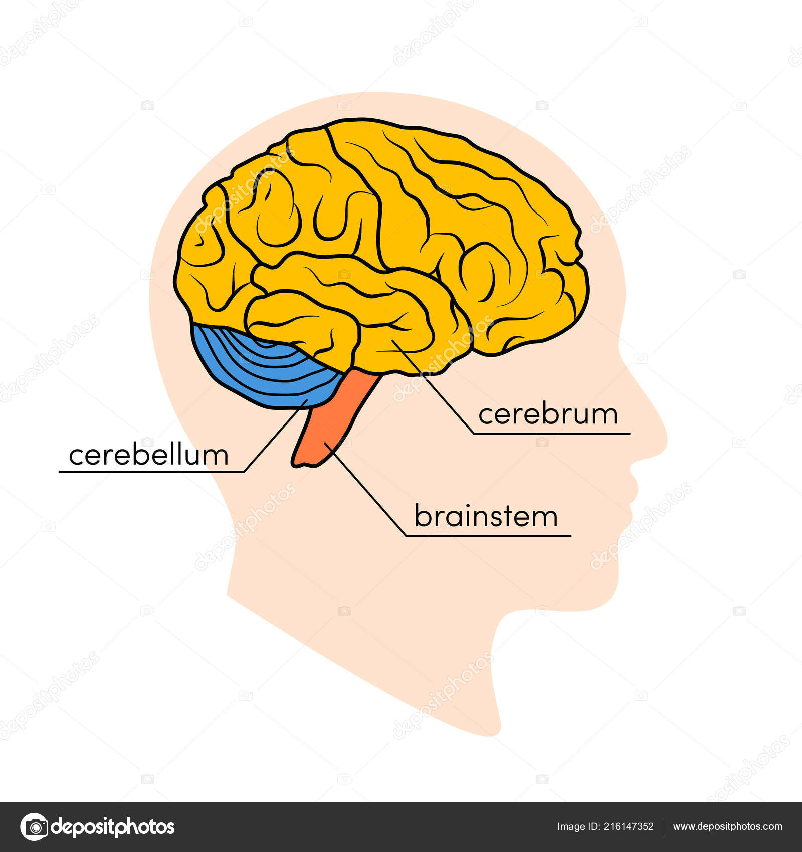 Profile View Human Brain Parts Human Brain Painted Different Colors