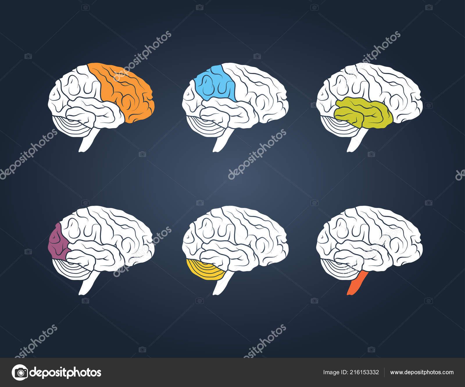 Какой цвет человеческого мозга