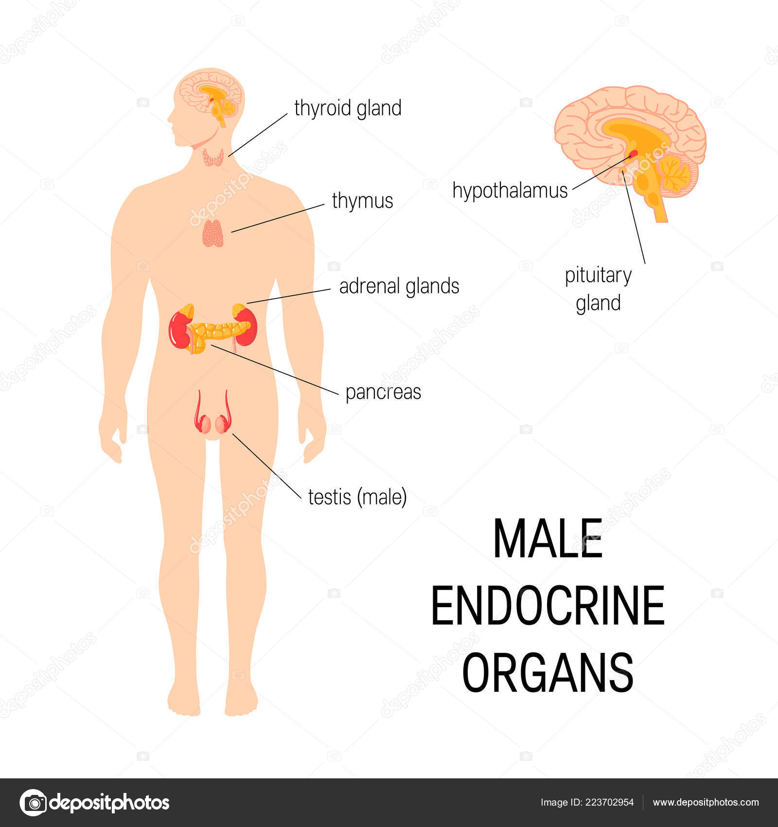 Male Endocrine Organs Simple Vector Infographic In Flat Style