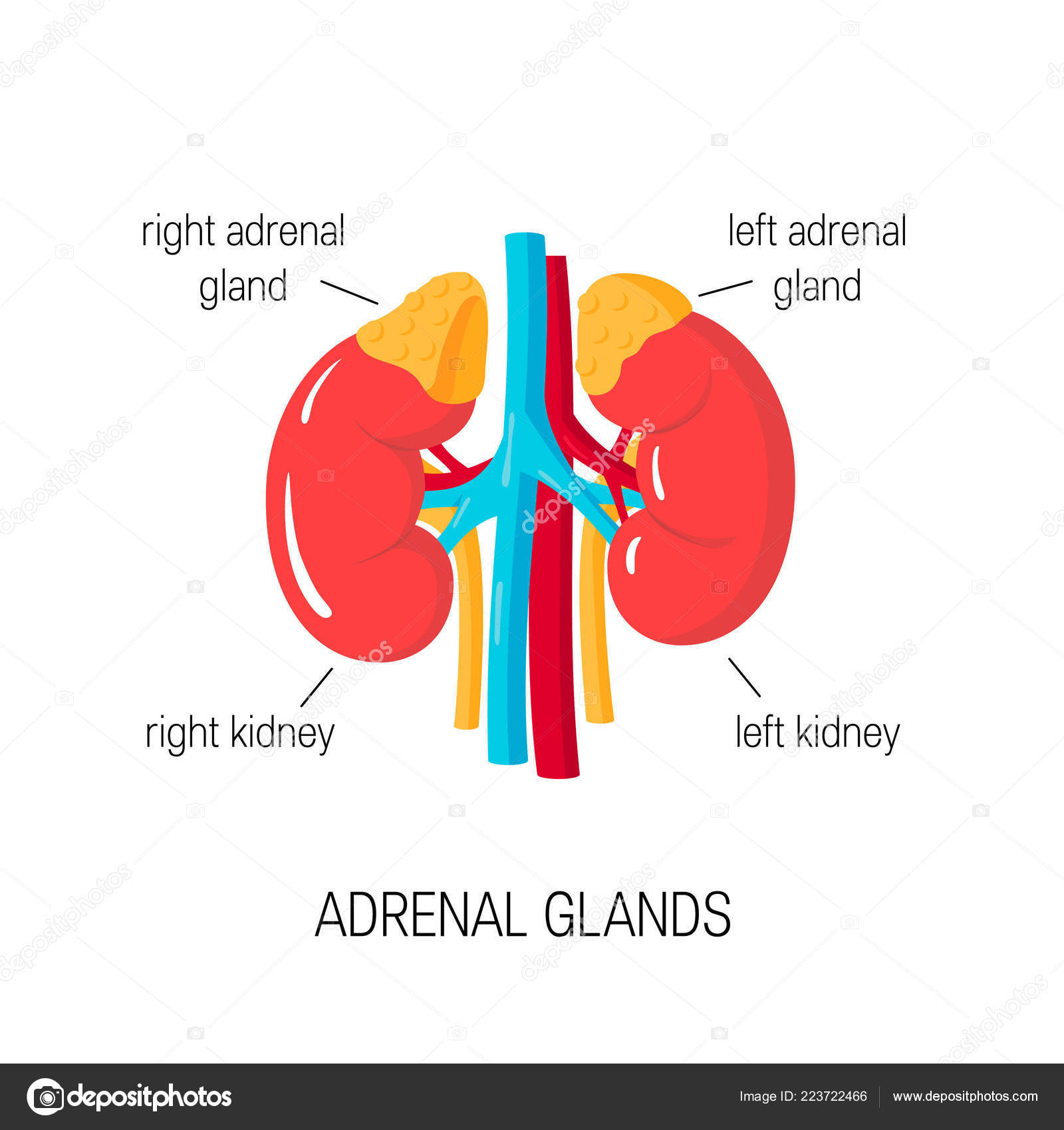 vector diagram of adrenal glands in flat style \u2014 stock vectoradrenal glands vector diagram in flat style medical illustration of endocrine organs \u2014 vector by