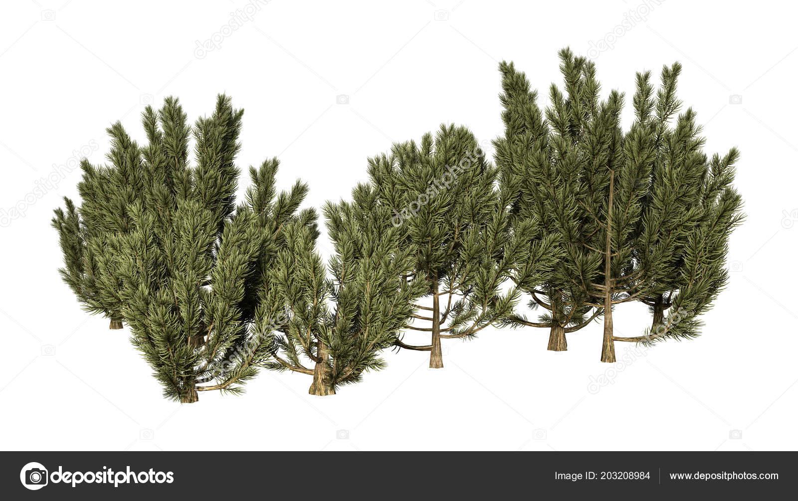 Rendering Mulga Tree Acacia Aneura True Mulga Isolated White