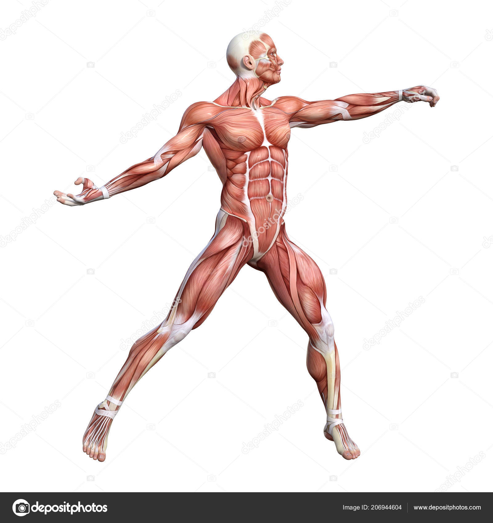 Rendering Male Anatomy Figure Muscles Map Isolated White Background