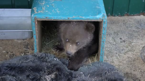 Womans hand lures Kamchatka brown bear cub from an improvised refuge in zoo. Little bear (Ursus arctos piscator), born few months ago, lost his mother in wild nature and was placed to survive in zoo.