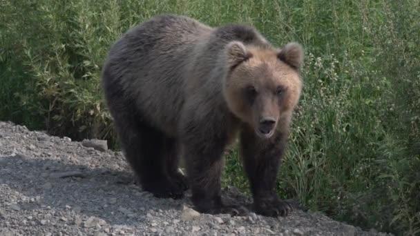 Hladový medvěd kamčatský stojí na silniční štěrk venkovské silnici, těžce dýchá a sniffs. Kamčatka poloostrov, ruský Dálný východ, Eurasie.