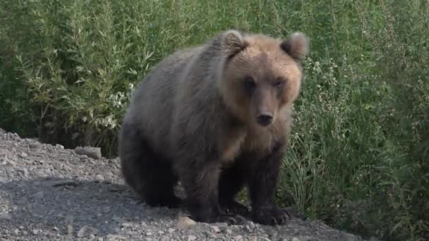 Biggest hungry Kamchatka brown bear sits on roadside of gravel country road, breathes heavily and sniffs. Kamchatka Peninsula, Russian Far East, Eurasia.