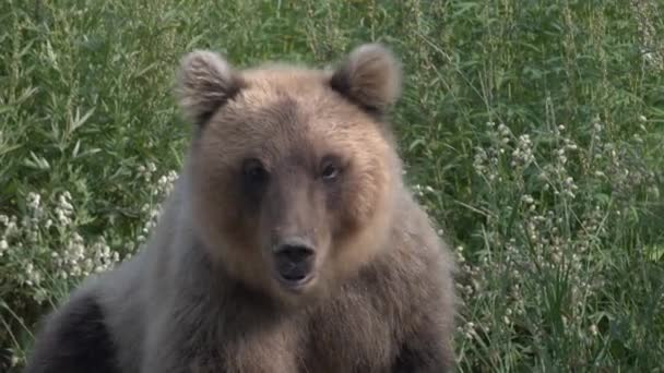 Portrét hladový medvěd kamčatský těžce dýchá a sniffs. Kamčatka poloostrov, ruský Dálný východ, Eurasie.