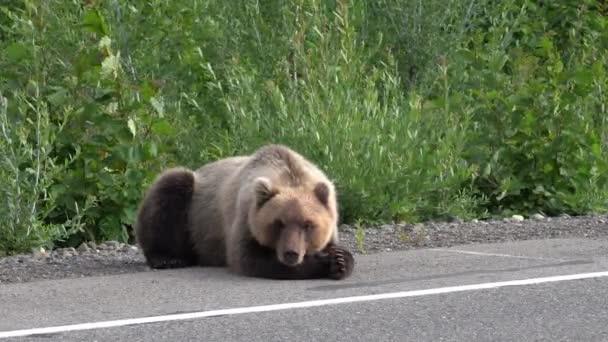 Éhes Kamcsatkai barnamedve fekszik útszéli, aszfalt út, erősen lélegző, szippantás, és körülnézett. Kamcsatka, az orosz távol-Kelet, Eurázsia.