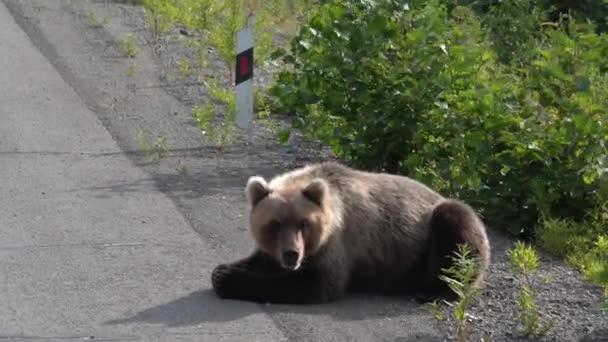 Hladový medvěd kamčatský leží na silnice asfaltová silnice, silně dýchání, čichání a rozhlížel se kolem. Eurasie, ruský Dálný východ, Friesdorf.