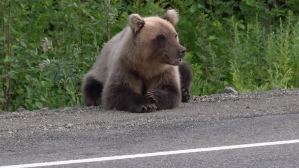 Hungry Kamchatka brown bear lies on roadside of asphalt road, heavily breathing, sniffing and looking around. Eurasia, Russian Far East, Kamchatka Peninsula.