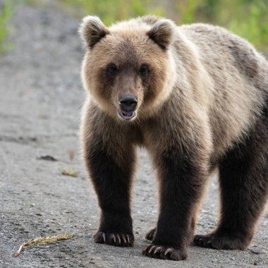 Portrait of terrible hungry Kamchatka brown bear looking at camera