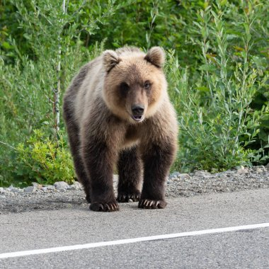 Hungry brown bear (Ursus arctos piscator) standing on roadside of asphalt road, heavily breathing, sniffing and looking around