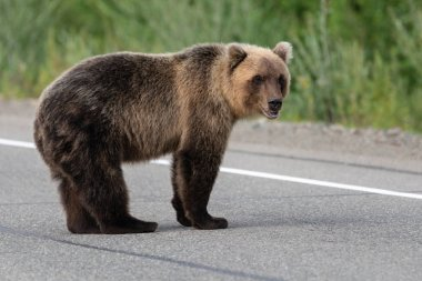 Wild terrible Kamchatka brown bear standing on asphalt road