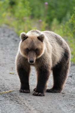Full-length portrait of terrible hungry Kamchatka brown bear