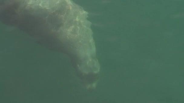 Wild marine mammal animal Steller Sea Lion swimming in cold water Pacific Ocean
