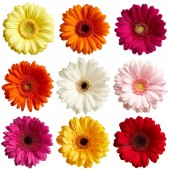 Fotografie Sada gerbera sedmikrásky květin izolovaných na bílém pozadí