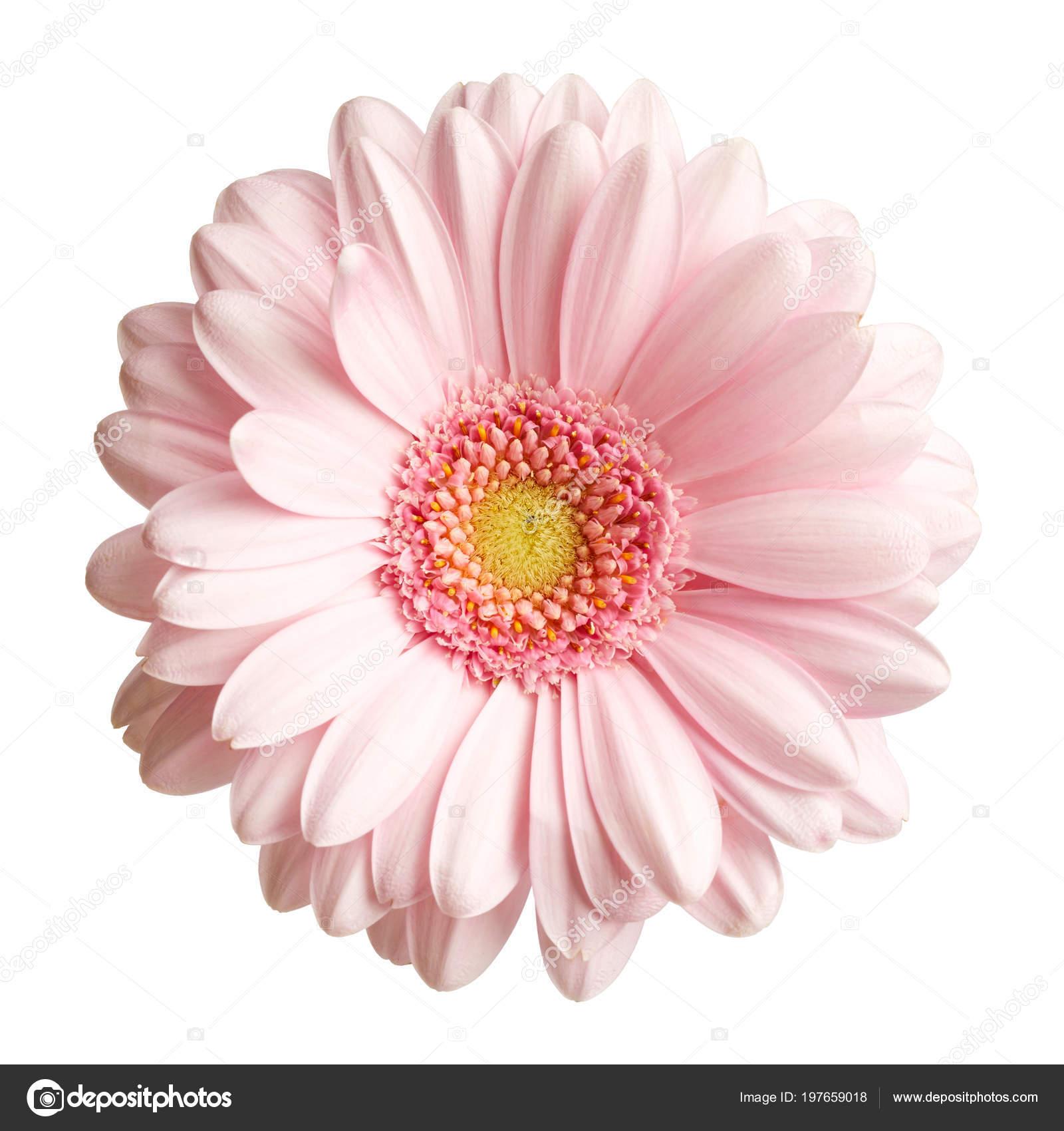 Pink Gerbera Flower Isolated White Background ⬇ Stock Photo, Image by ©  Nik_Merkulov #197659018