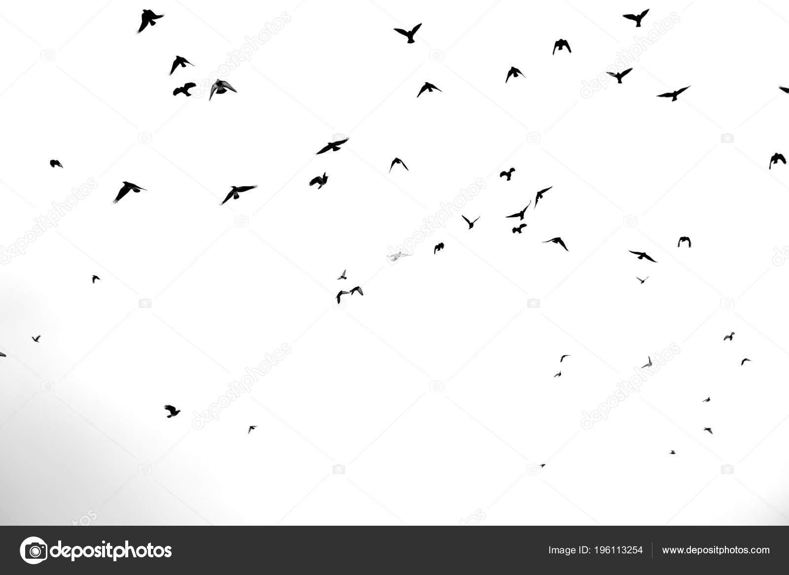 černé černé ptáky