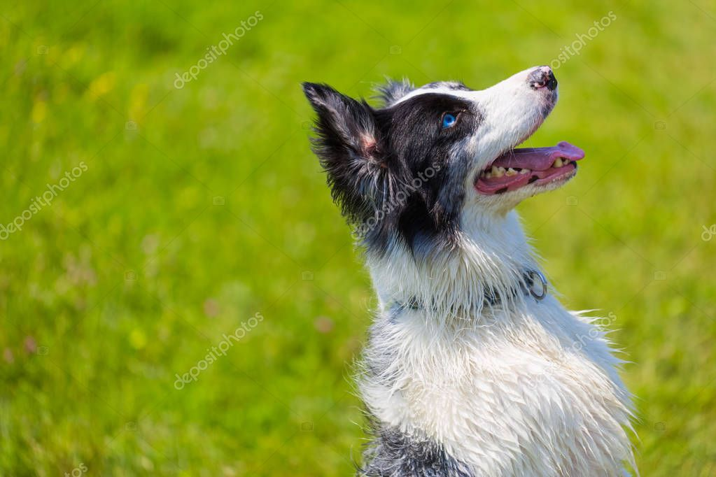 Smart dog focusing and listening. Pure breed border collie outdoors, teaching period
