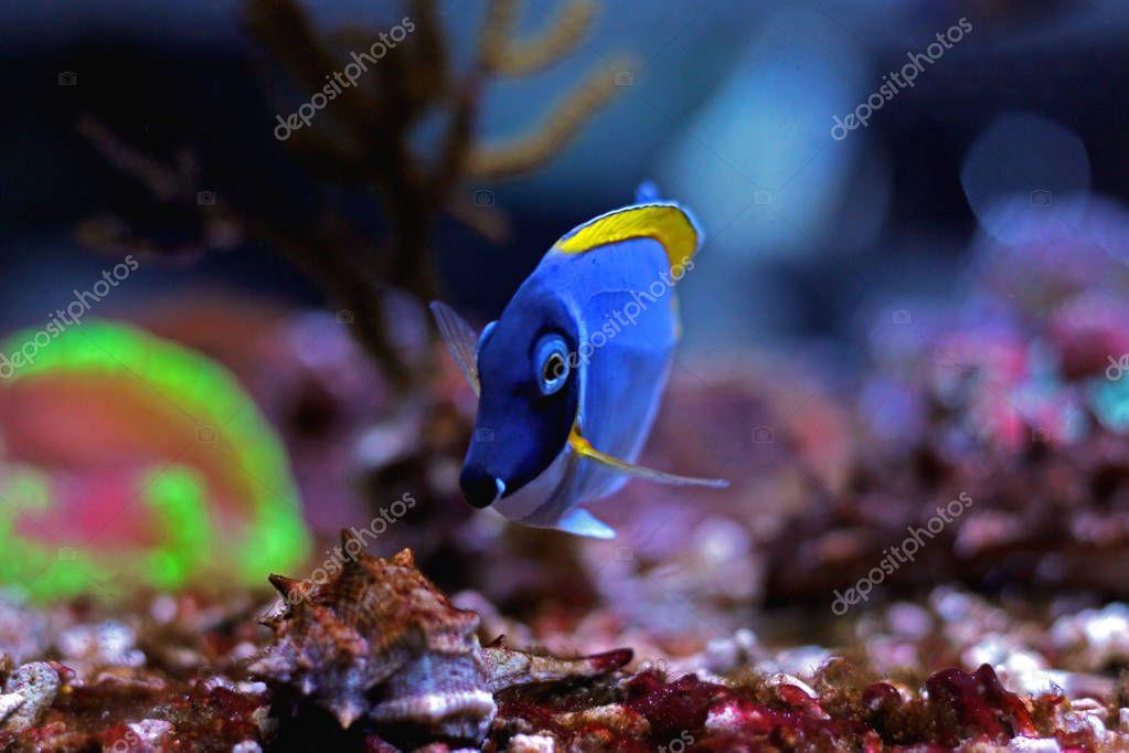 Powder Blue Tang - Acanthurus leucosternon