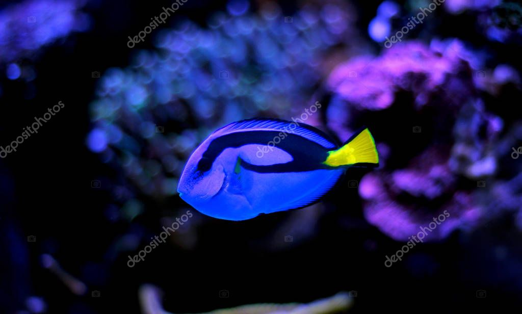 Blue Tang - Paracanthurus hepatus