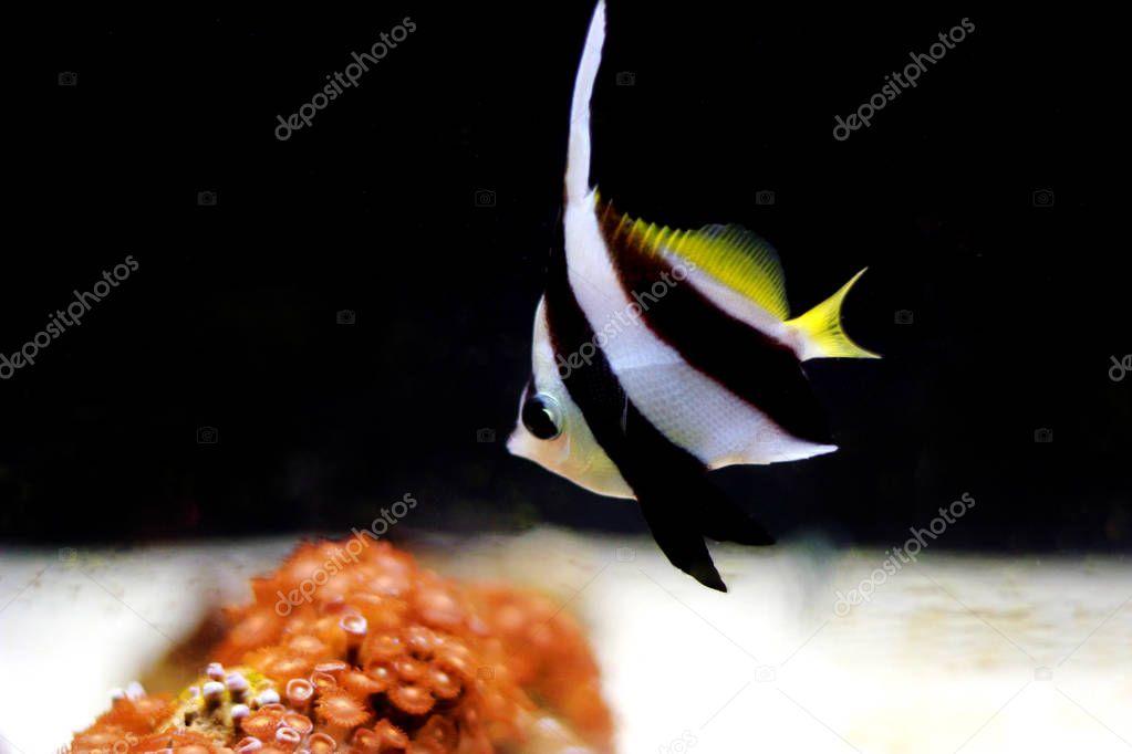 Heniochus Black & White Butterflyfish (Heniochus acuminata)