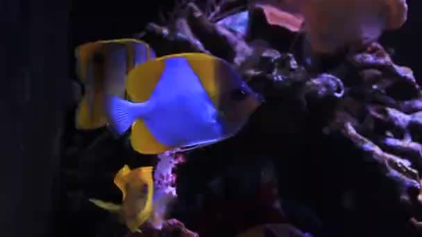 Pyramida Butterflyfish - krásné tropické ryby v akváriu