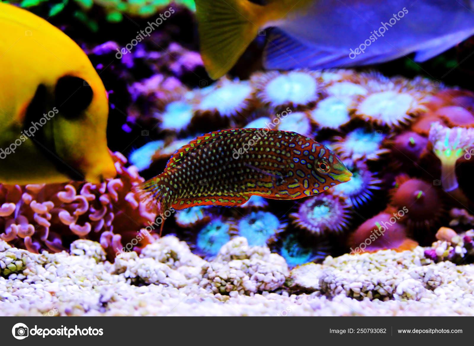 Ornate Leopard Wrasse Fish Coral Reef Aquarium Tank — Stock