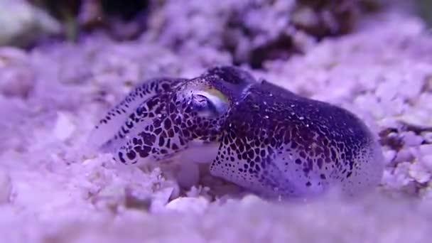 Macro Video of European common cuttlefish - (Sepia officinalis)