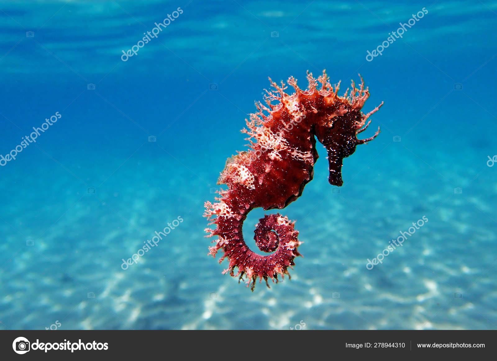 Mediterranean Seahorse Hippocampus Guttulatus Stock Photo C Vojce 278944310