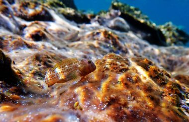 Combtooth blenny fish - Microlipophrys canevae