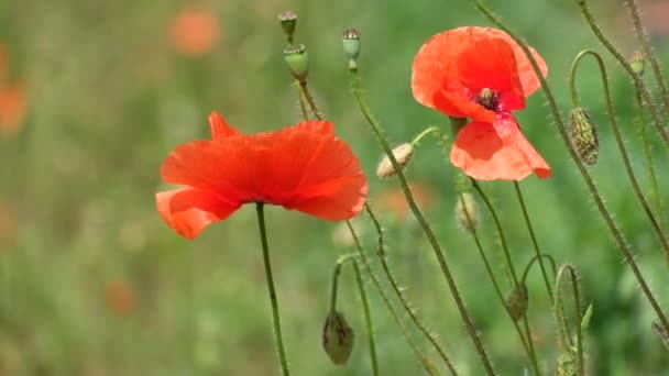 Červený mák vlaje ve větru. Pupeny, květy a kapsle pole máku (Mák vlčí)