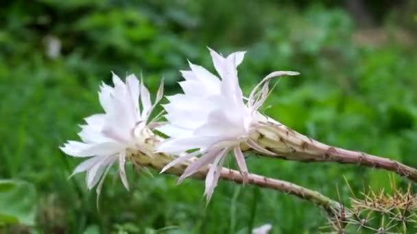 Virágos Húsvét Lily kaktusz. Nagy fehér kaktusz virág. Erős szél (csupán oxygona)
