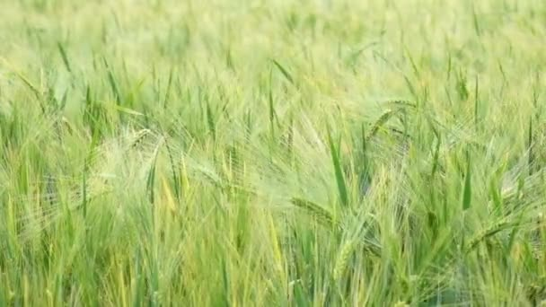 Vlny zelené pšenice v poli