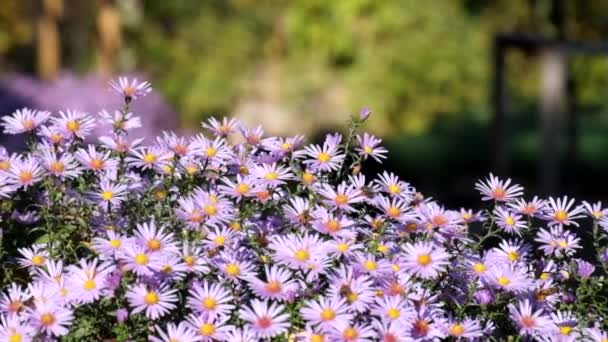 Purple New York aster. Daisy-like flowers with golden centers (Symphyotrichum novi-belgii)