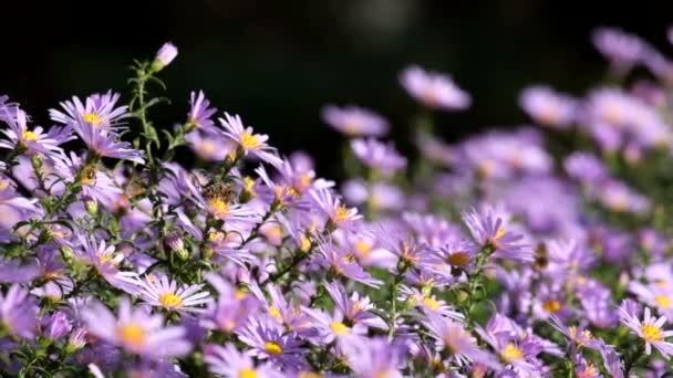 Purple New York aster. Daisy-květy se zlatými středy (Symphyotrichum novi-belgii)