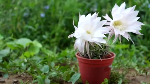 Flowering Easter Lily Cactus. Large white cactus flowers. Strong wind