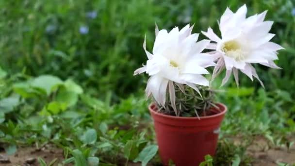Virágzás Húsvét liliom kaktusz. Nagy fehér kaktusz virágok. Erős szél