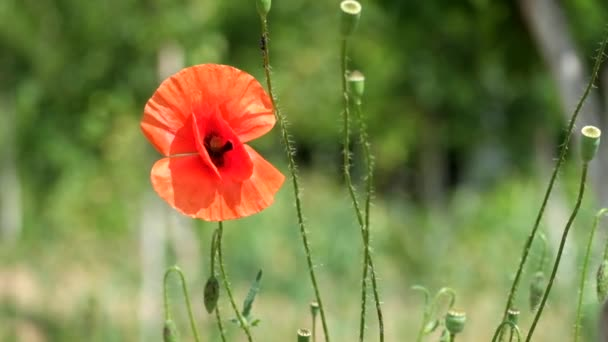 Brightly red poppy flutters in the wind (Papaver rhoeas)