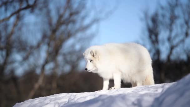 The Arctic Fox of Scandinavia