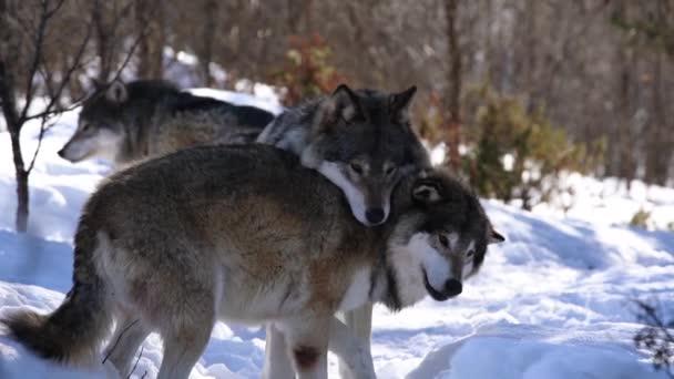 Vlci The severní Skandinávie