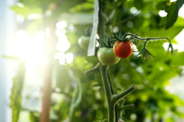 Ripe and immature ecological natural tomato hanging on the branch in greenhouse.