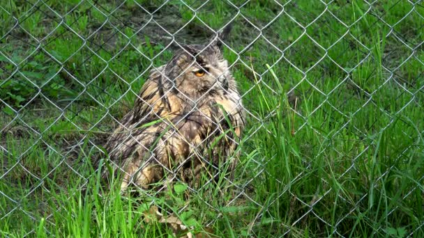 horned eagle owl bubo bubo bird behind the fence in zoo zoological garden