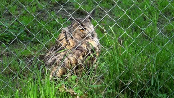 rohatý výr velký bubo bubo pták za plotem v zoo zoologická zahrada
