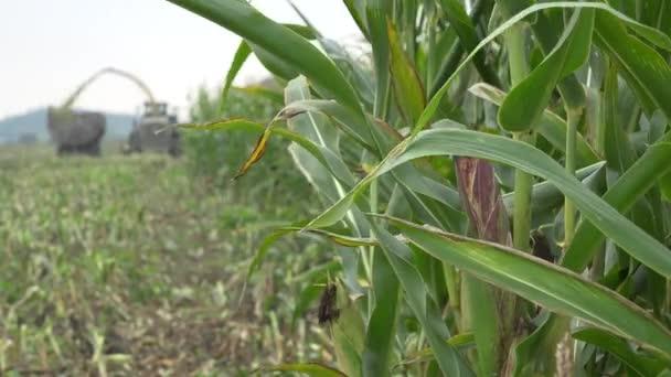 mezőgazdasági gép munka mező kukorica aratáskor. 4k