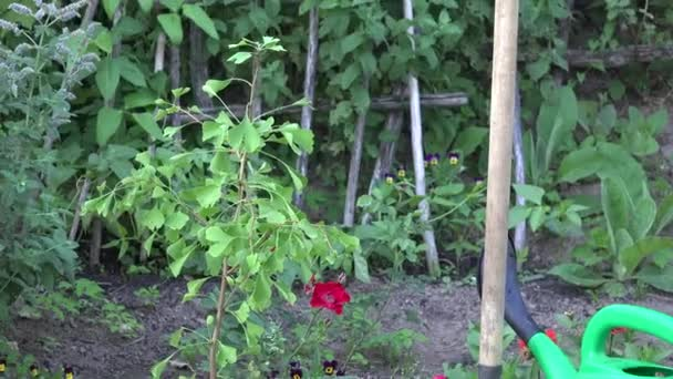 Small tree sapling, spade tool and watering can in garden. Zoom out. 4K