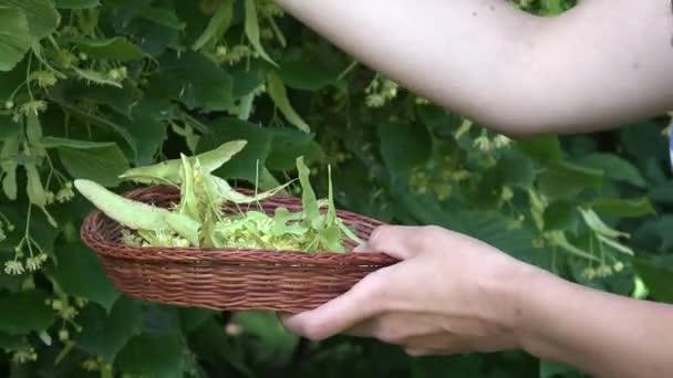 žena sbírat byliny Lípa na proutěné misky. 4k